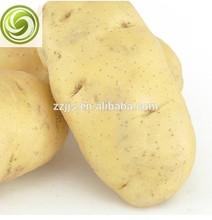 Fresh potato export potato good quality potato