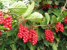 GMP certificated manufacturer supply Natural high quality Schisandra