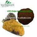جودة أعلى الساخن بيع chaga فطر استخراج