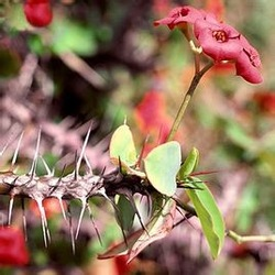 crown of thorns extract, high quality flower extract of crown of thorns