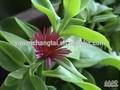 bv certificada fabricante fornecer venda quente comum andrographis herb