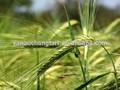 Bv certificado fuente de la fábrica de alta calidad de avena extracto de semilla de polvo