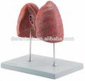 humanos modelo de pulmón