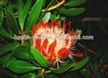 Protea cynaroides extracto, tilia cordata molino, flor de tilo