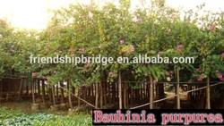 blooming Bauhinia purpurea