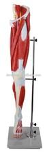 Muscles of leg, muscles of human leg
