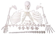 Human Disarticular Skeleton, Disarticular Skeleton,Disarticular Muscular Skeleton