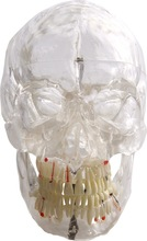 Transparent Human skull with 3D pathological teeth and blood vessle and nerves model