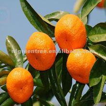 fresh mandarin citrus fruit