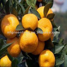 top quality large mandarin