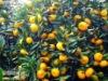 Chinese citrus fruit company