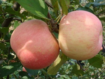 competitive price fresh fruits apples