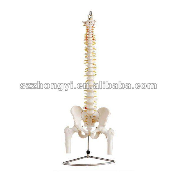 anao de jardim resumo:Human Skeleton Spine Model