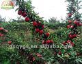 Frutas frescas da época - - novo huaniu
