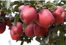 sweet red apple 2012