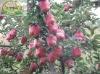 2012 bulk apples whole sale