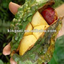 Large quantity Kola nut extract