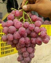 fresh Chinese red grape