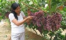desert region Fresh red golble grape strong quality