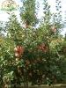 Fuji wholesale fruit prices