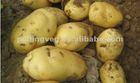 Yellow Sweet fresh holland Potato