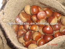 fresh big chestnuts 40-50pcs/kg