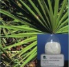 GMP provide of Saw Palmetto Extract with fatty acid 25%-45%(Sabal serrulatum)
