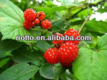 Natural organic Palmleaf Raspberry Fruit P.E.(extract) with Raspberry Ketone