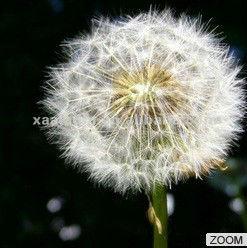 Dandelion extract/Flavonoids/FDA/GRAS