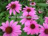 High QualityEchinacea Purpurea extract
