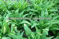 Mejor venta de la planta extracto de hoja de lechuga p. E. 10:1