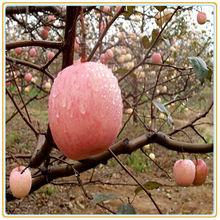 Little red fresh fruit apple chinese<#80--#175 20KG>