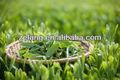 Fuente de alimentación extracto de té verde de EGCG Epigallocatechin gallate n º cas : 989 - 51 - 5