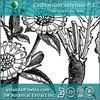 Cichorium intybus P.E. - Herbal Extract