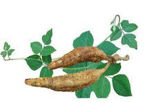 ISO certified kudzu vine extract /Kudzu root extract / Puerarin 40%HPLC/Lowering blood pressure
