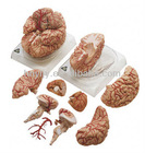 High Quality Brain Anatomy Mode/Anatomy Brain Model/ Brain Model for medical teaching