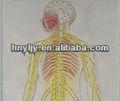 Sistema circulatorio humano/el modelo eléctrico de empaistic de cuerpo entero del nervio periférico/iso modelo humano para la enseñanza