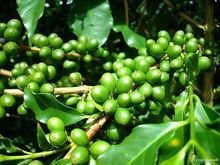 Grão de café verde p.E Cápsula perder peso ( HOT )