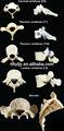 نموذج من عنق الرحم، القصية فقرات القطنية والعجزية العظام( 26pcs)