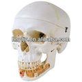 Cráneo modelo de esqueleto/tamaño natural modelo de cráneo/clásico del cráneo humano modelo abierto con la mandíbulainferior, 3 piezas