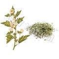 A base de hierbas materia prima de azúcar de la melcocha hoja Medicinal uso