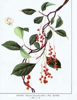 Immunity Protection Wu Wei Zi Extract /Chinese Magnoliavine Fruit P.E 9%