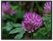BNP supply best High quality organic Red Clover Extract for antibiotic
