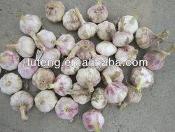 2013 fresh garlic