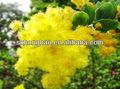 100% natural acacia concinna 75:1 extrato