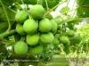 Growing Jatropha Seeds for Sale
