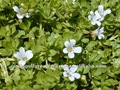 Bacopa 20% extrait