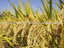 Thai Long-Grain Parboiled Rice 5% Sorted (Oryza sativa L.)