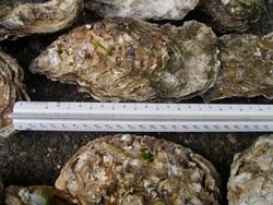 Jumbo Pacific Oysters