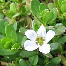 Bacopa Monniera Herb